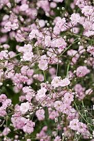 pink gyspophila