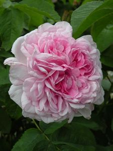 Centifolia hybrid rose